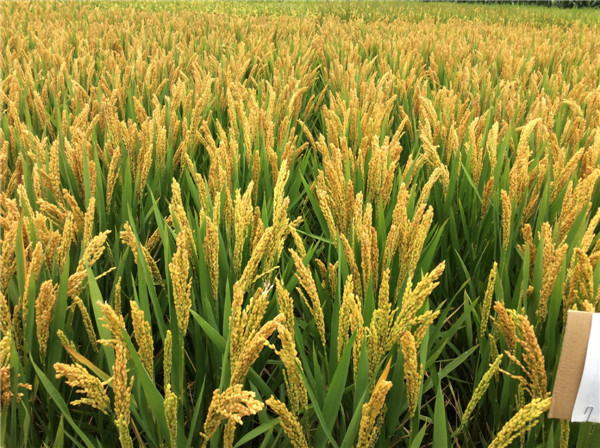 安陽正規的水稻種子熱線電話